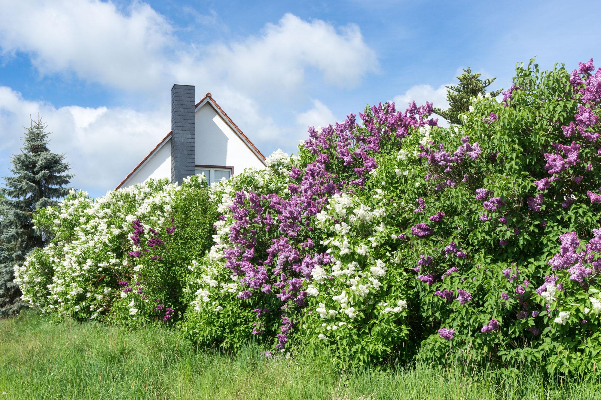 Freiwachsende Blütenhecke
