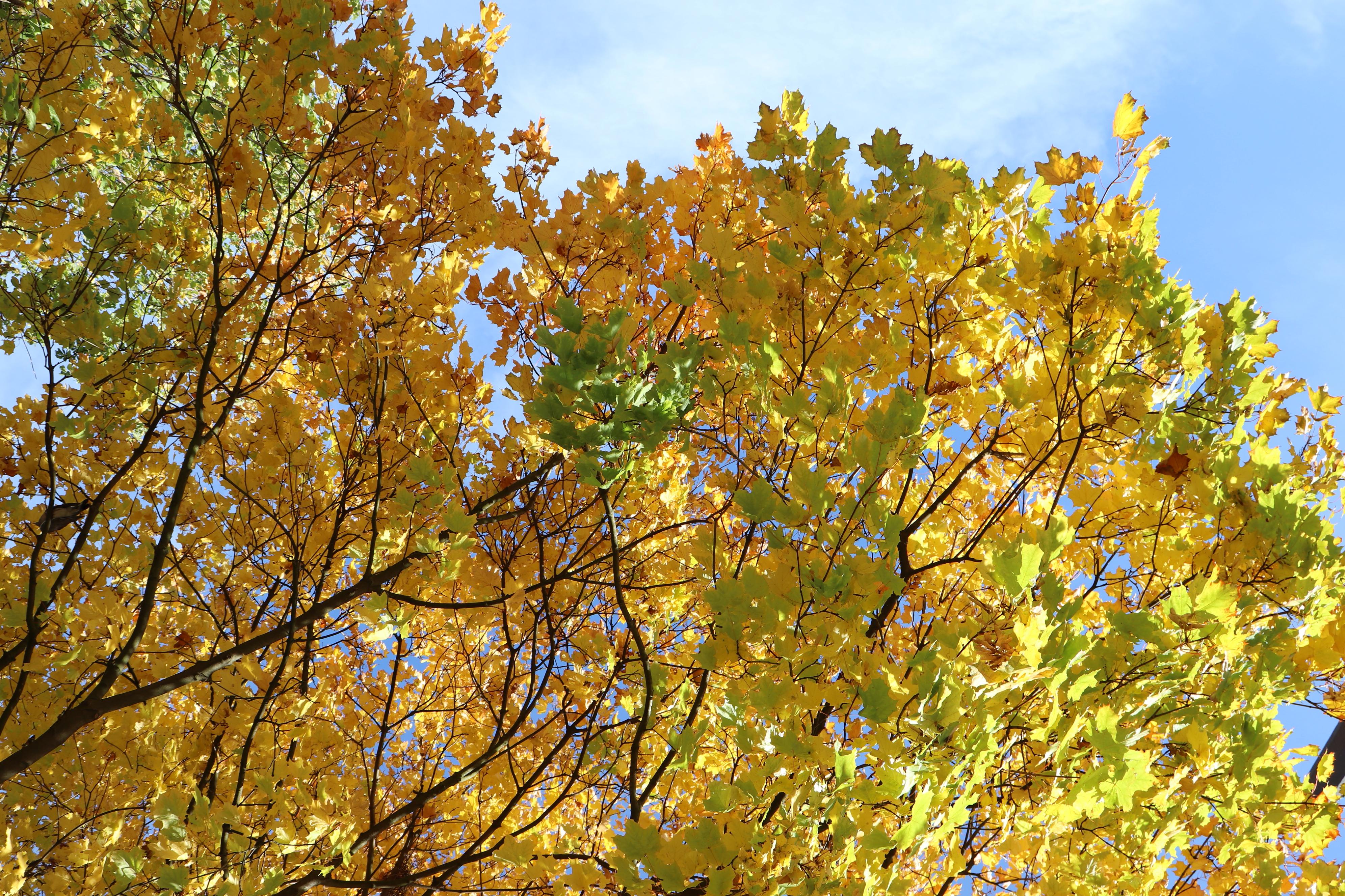 Baum mit Herbstlaub im Gartenbau